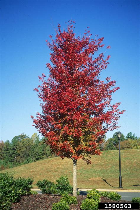 maple tree not maple acer rubrum sapindales aceraceae 1580563