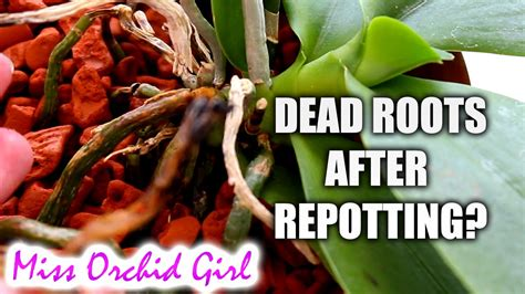 why do phalaenopsis orchid roots die after repotting orchid nature
