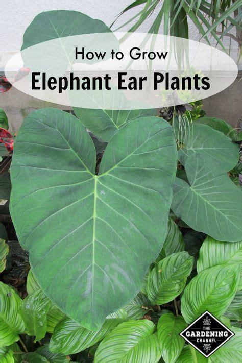growing elephant ear plants elephant ear plant elephant