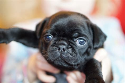 pug cardiff beautiful frug pugs for sale cardiff cardiff pets4homes