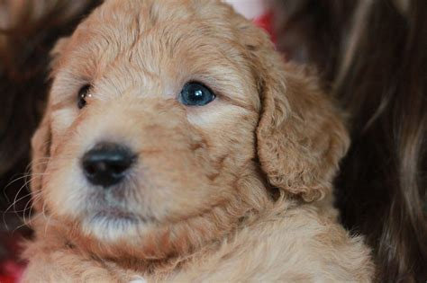 goldendoodle puppies for sale rochester ny goldendoodle puppies for sale blue collar boy major