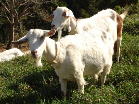 de cabras monitoramento da cetose em caprinos eco diagn 243 stico