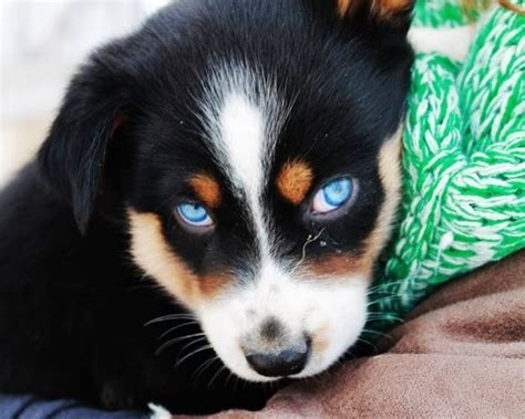 australian shepherd husky mix puppies for adoption siberian husky australian shepherd golden retriever mix breeds picture