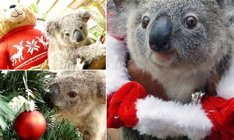 koala joey bon bon   merry time   christmas birthday shoot daily mail