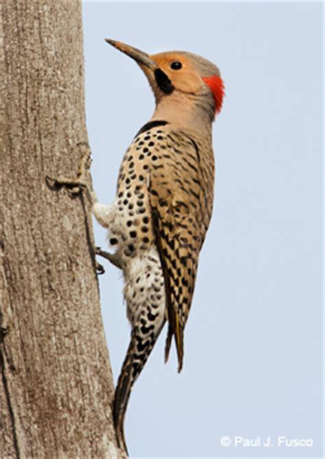 deep: woodpecker fact sheet