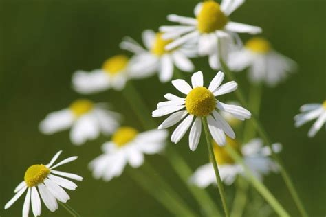 fiori camomilla camomilla poche cure grandi benefici in the wind
