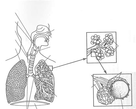anatomy coloring book respiratory system human respiratory system diagram black and white