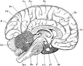 brain coloring page free coloring pages of parts of the brain