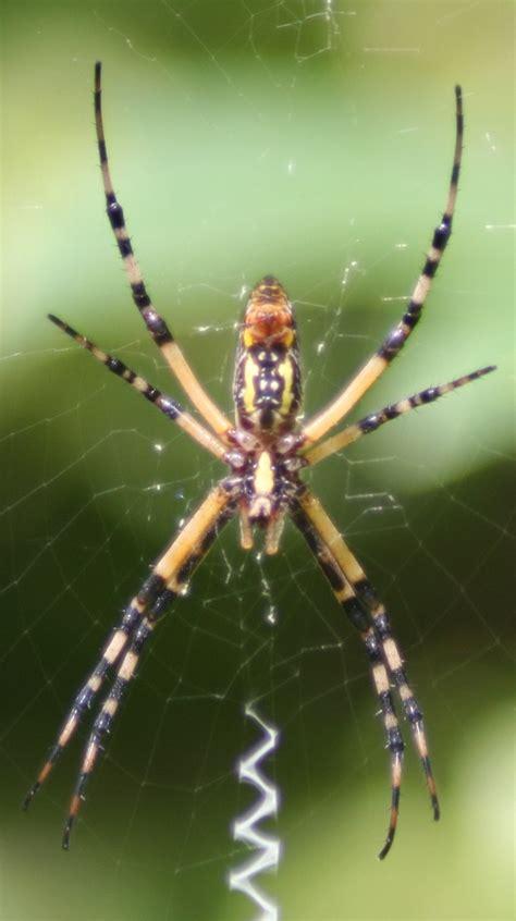 Garden Spider Id Spider Identification Guide