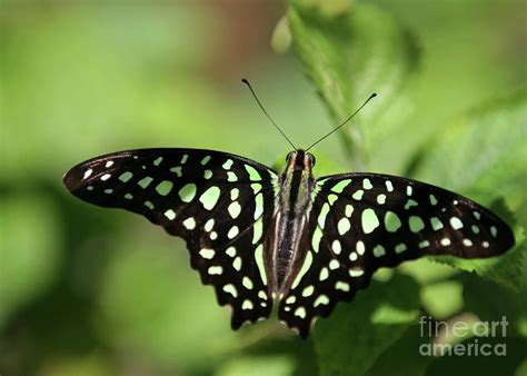 Butterfly L by Tailed Butterfly Photograph By L