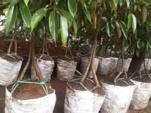 Jual Bibit Kakao Di Jambi jual bibit durian di medan pusat bibit durian montong