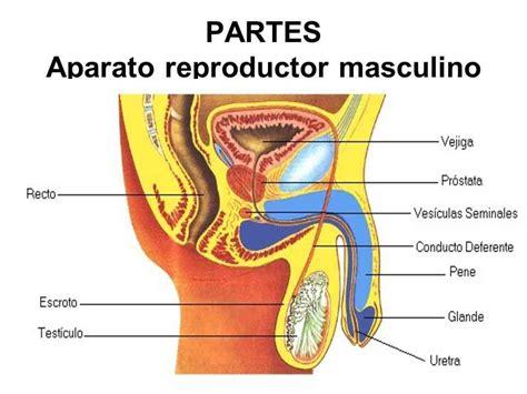 cuales son las partes del pene partes del 243 rgano reproductor masculino