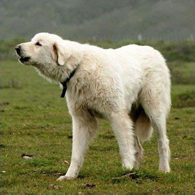 akbash golden retriever mix american staffordshire terrier and golden retriever mix breeders breeds picture