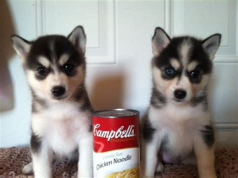 miniature husky puppies for sale husky page 188 the universe of animals