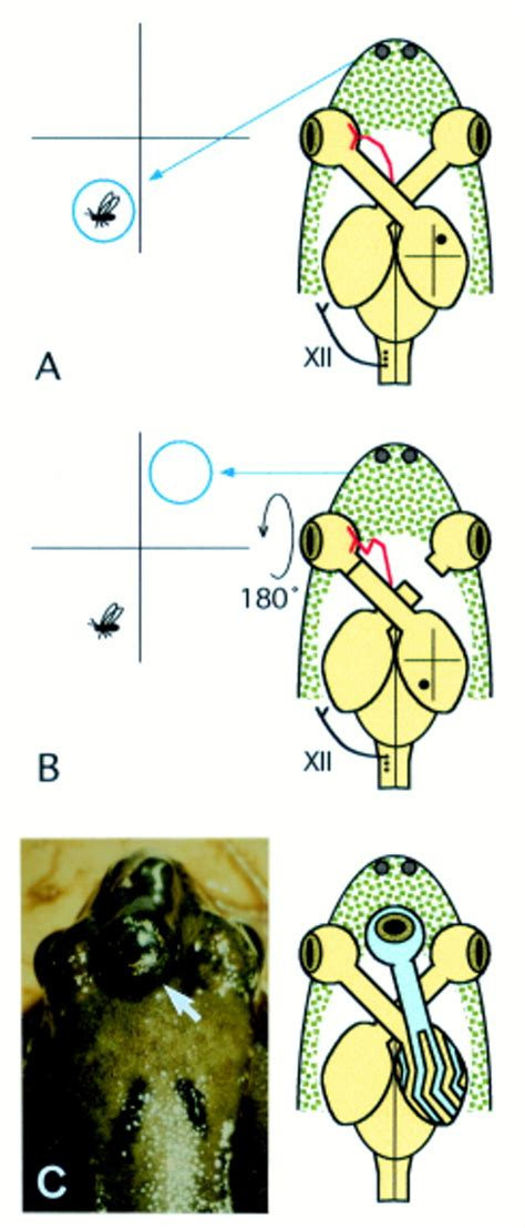 regeneration patterns and persistence of the fog dependent regeneration and transplantation of the optic nerve