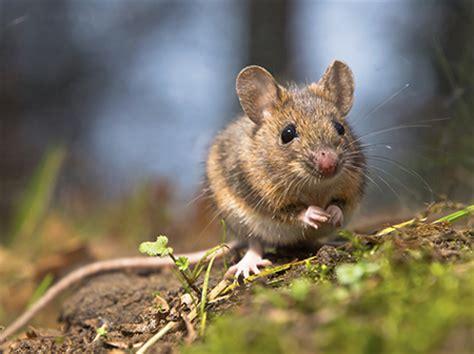 Speisekammer Nms comportement observer les souris sauvages pour