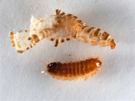 bed bugs larvae carpet beetle extermination pest control of bed bugs