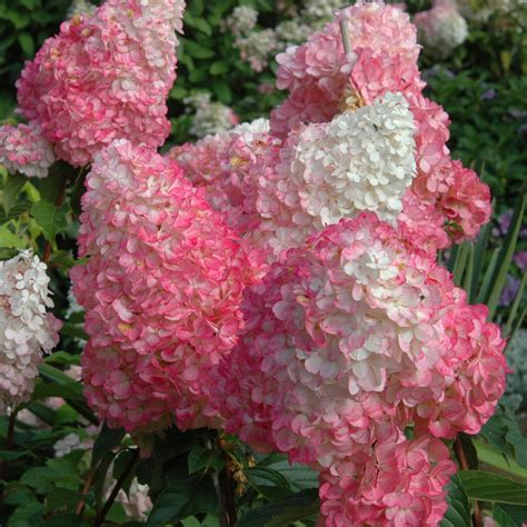 my vanilla strawberry hydrangeas are not so strawberry wonderfulflowergarden com