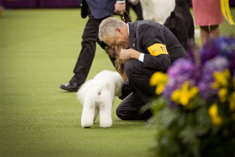 who won westminster show the westminster kennel club show flynn the bichon fris 233 wins biggie and bean