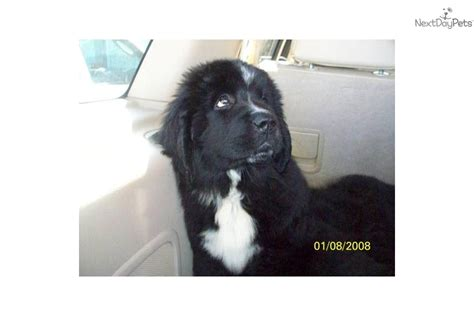 newfoundland puppies for sale in indiana gray newfoundland puppies for sale breeds picture