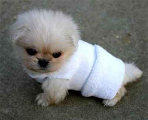 Benjour Sweater White Dogy Babyterry 18 best images about pekingese on