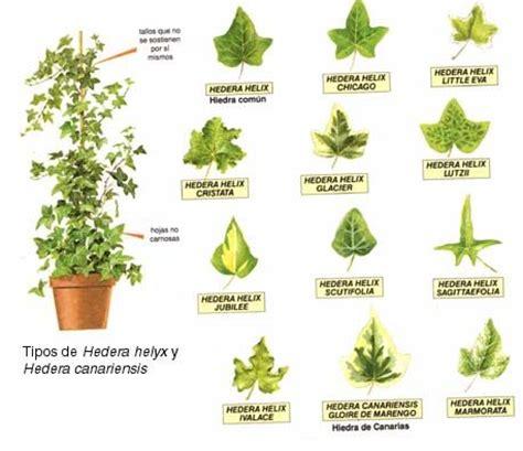plantas medicinales dibujo de plantas medicinales con su nombre imagui herbology dibujo and hedera