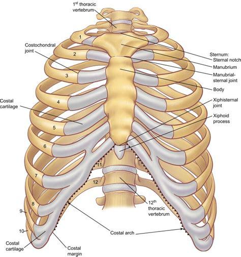 thoracic cage diagram skeletal system diagrams