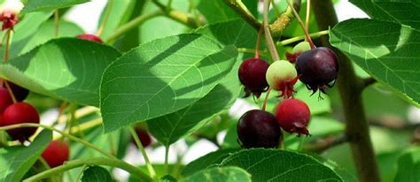 6608 cherry tree 218 best images about fruits and fruit tree care on