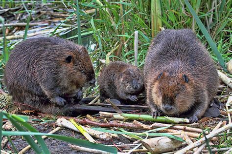 Canada Home Decor Online beaver family photograph by peggy collins