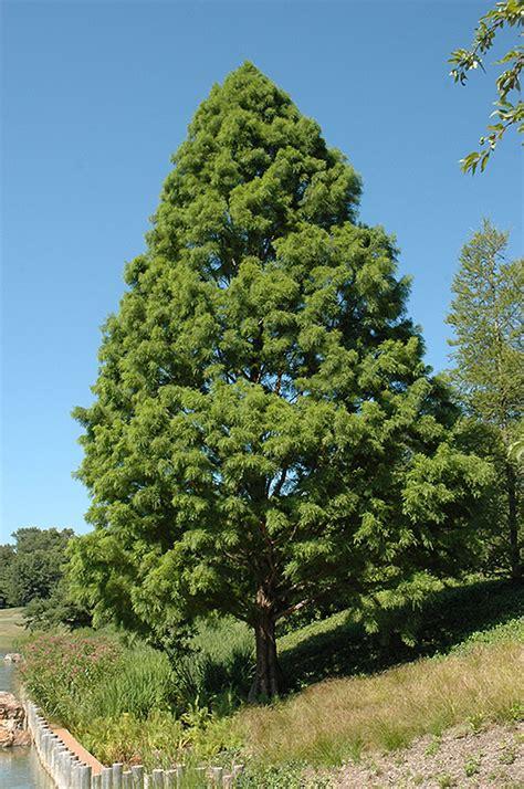 shawnee brave baldcypress taxodium distichum shawnee