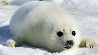 pup seal canada can t the eu to buy its murdered baby seals