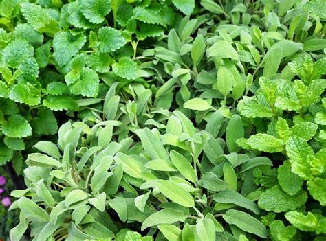 coltivare piante aromatiche in vaso piante aromatiche in vaso vivaio scariot