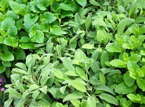 ricanti in vaso piante ricanti in vaso piante aromatiche in vaso vivaio