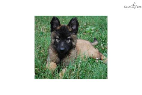 belgian shepherd puppies for sale price belgian shepherd tervuren puppy for sale near joplin missouri 3d355406 e711