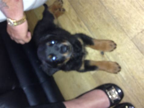 Rottweiler Puppies For Sale Glasgow Lanarkshire Pets4homes