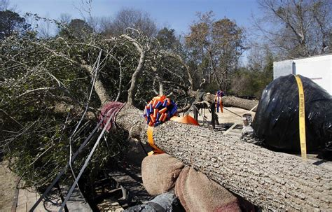 auburn fans in bushes auburn plants oaks to replace trees killed by alabama fan