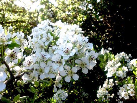 biancospino fiori clima flora e fauna sassi di matera