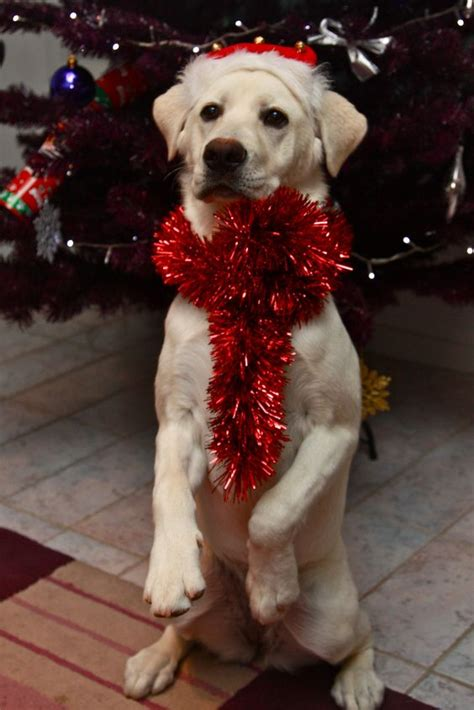 dogs    ready  christmas gallery