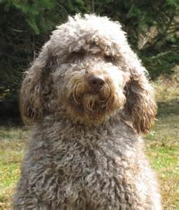 doodle puppies for sale bc temperament of the labradoodle breeds picture