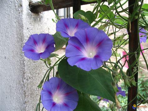 Plante Grimpante Pousse Rapide by Sp 233 Cialiste Plantes Grimpantes 224 Tonnay Charente En