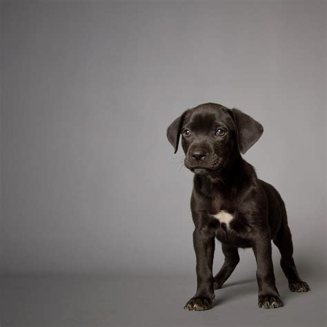 puppy photography black puppy photograph by square photography