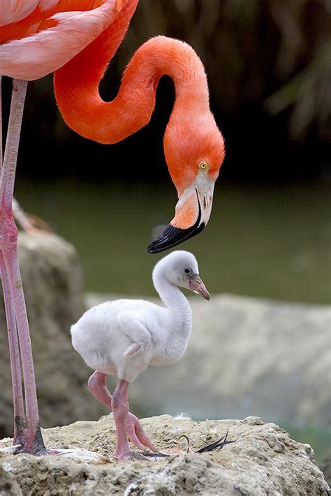 Baby Pink Flamingo flamingo san diego zoo animals plants