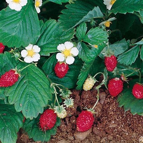 concime per fragole in vaso coltivazione fragole alberi da frutto come coltivare