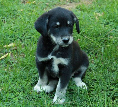golden retriever cross border collie for sale border collie cross husky puppy for sale puppies for sale dogs for sale in ontario