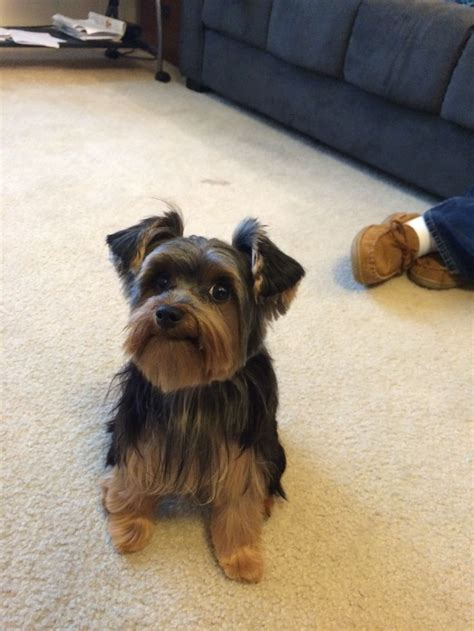 haircut for morkies this face male yorkie haircut wheatley yorkiehaircut