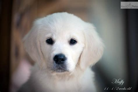 golden retriever puppy nj golden retriever nj golden retriever puppy for sale near jersey new