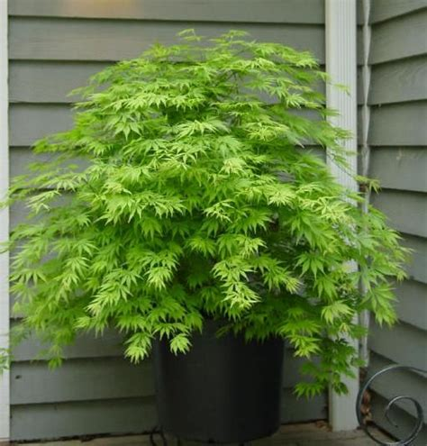 dwarf green maple green japanese maple outside pinterest