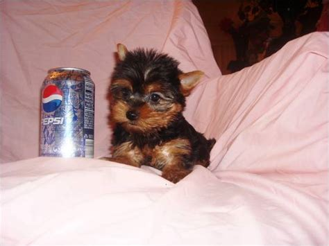 yorkies for sale 200 yorkie puppies for sale 200 caldwell id asnclassifieds