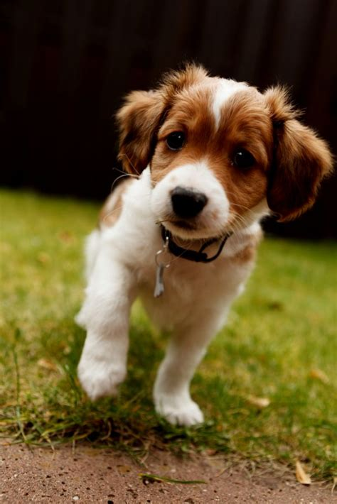 for puppies kooikerhondje puppies puppies puppy