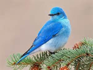 blue colored birds blue colored bird birds